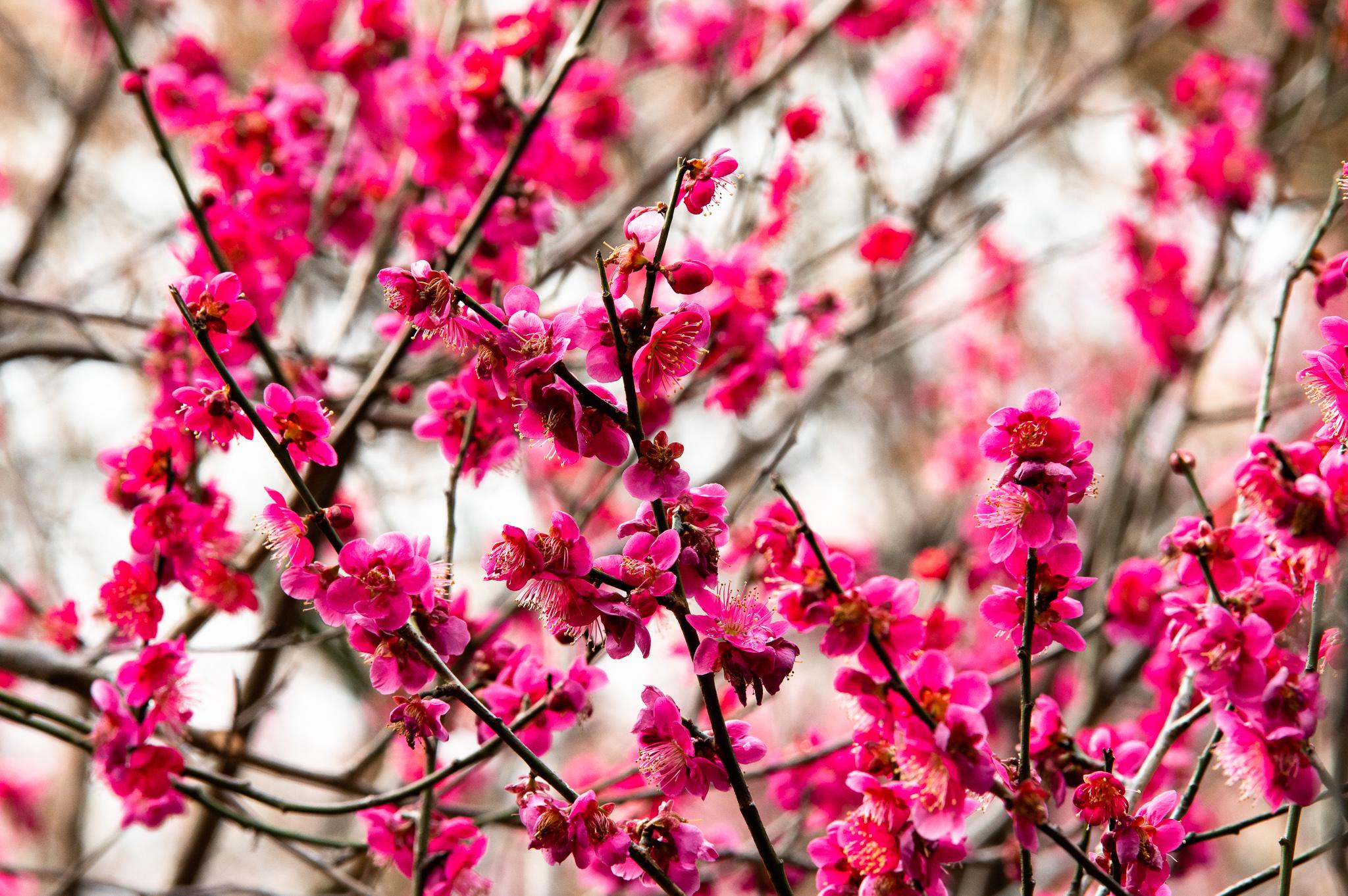 谷保天満宮の満開の梅