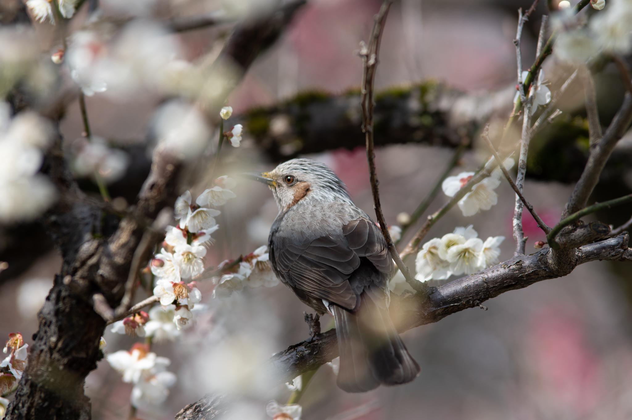 梅の木に止まるヒヨドリ