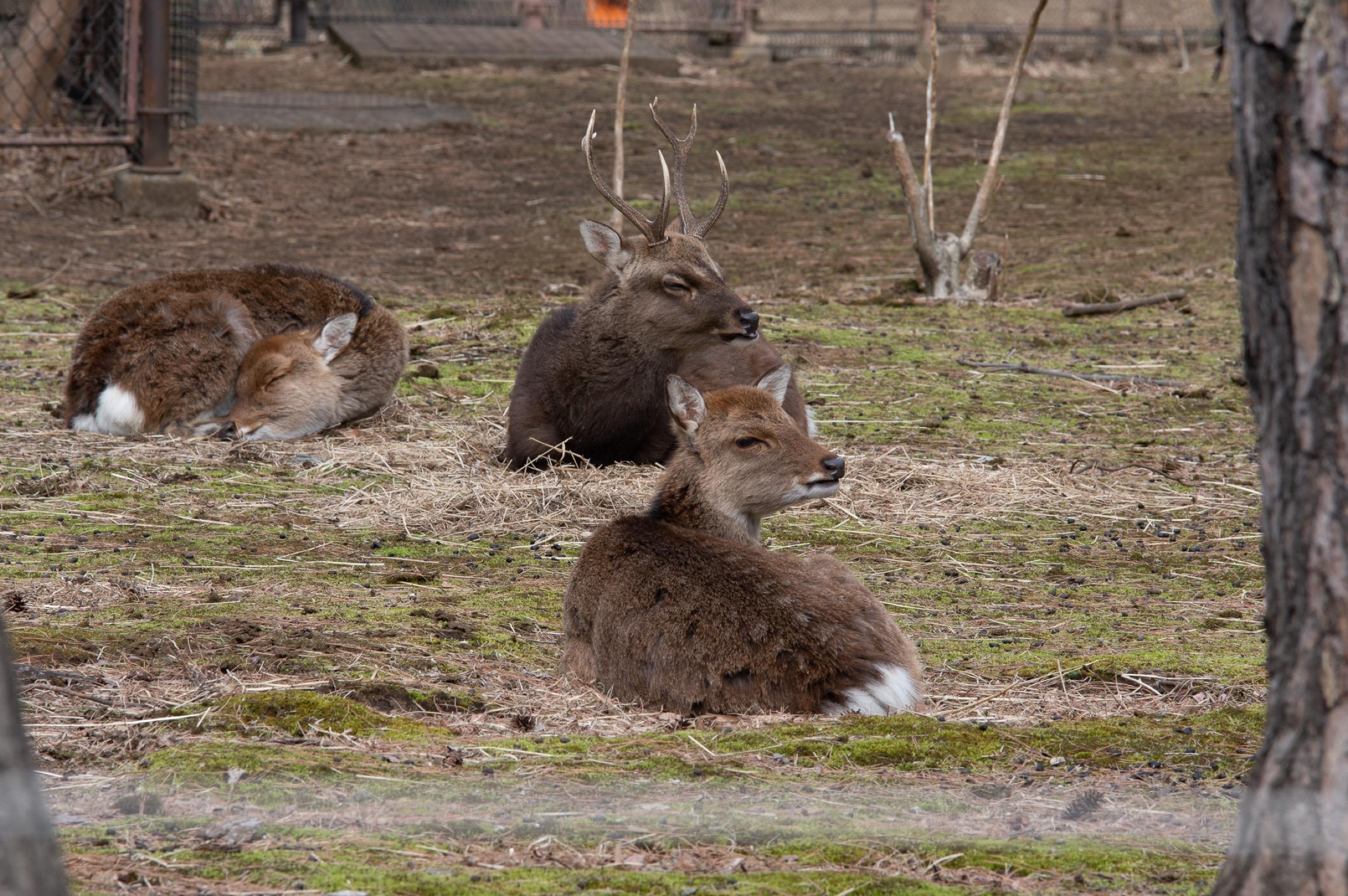 井の頭公園の動物 シカ