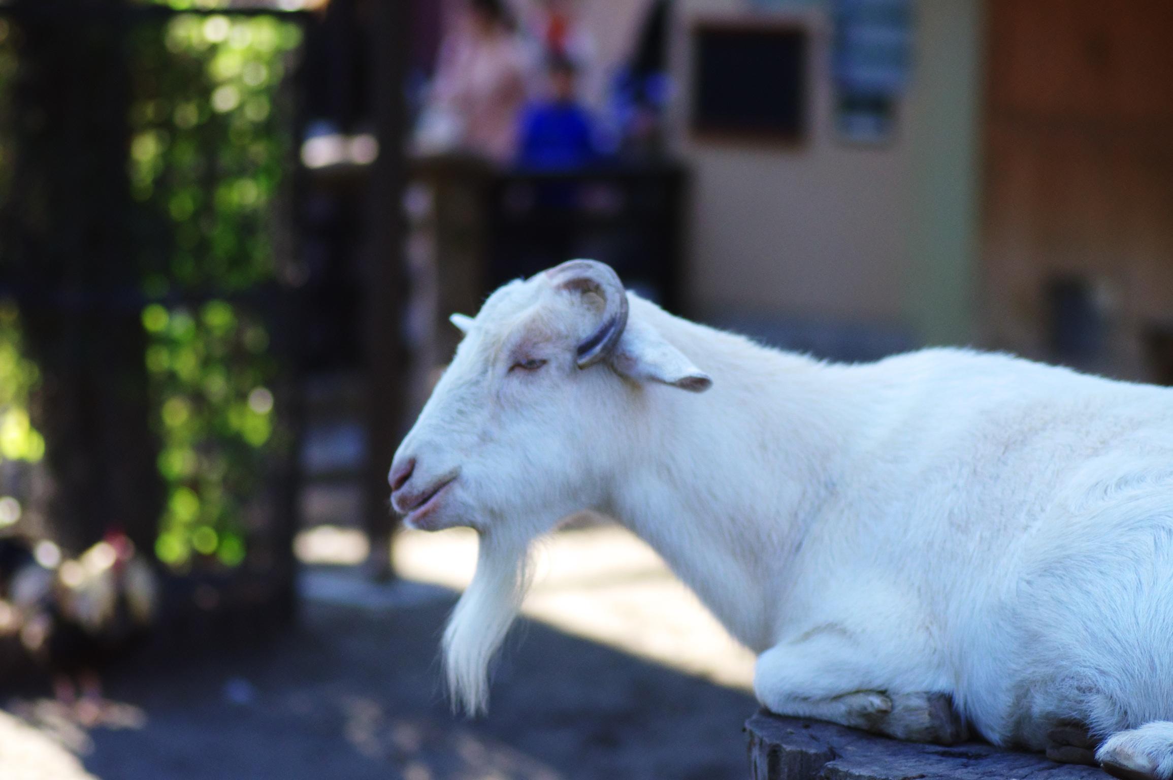 井の頭公園の動物 ヤギ
