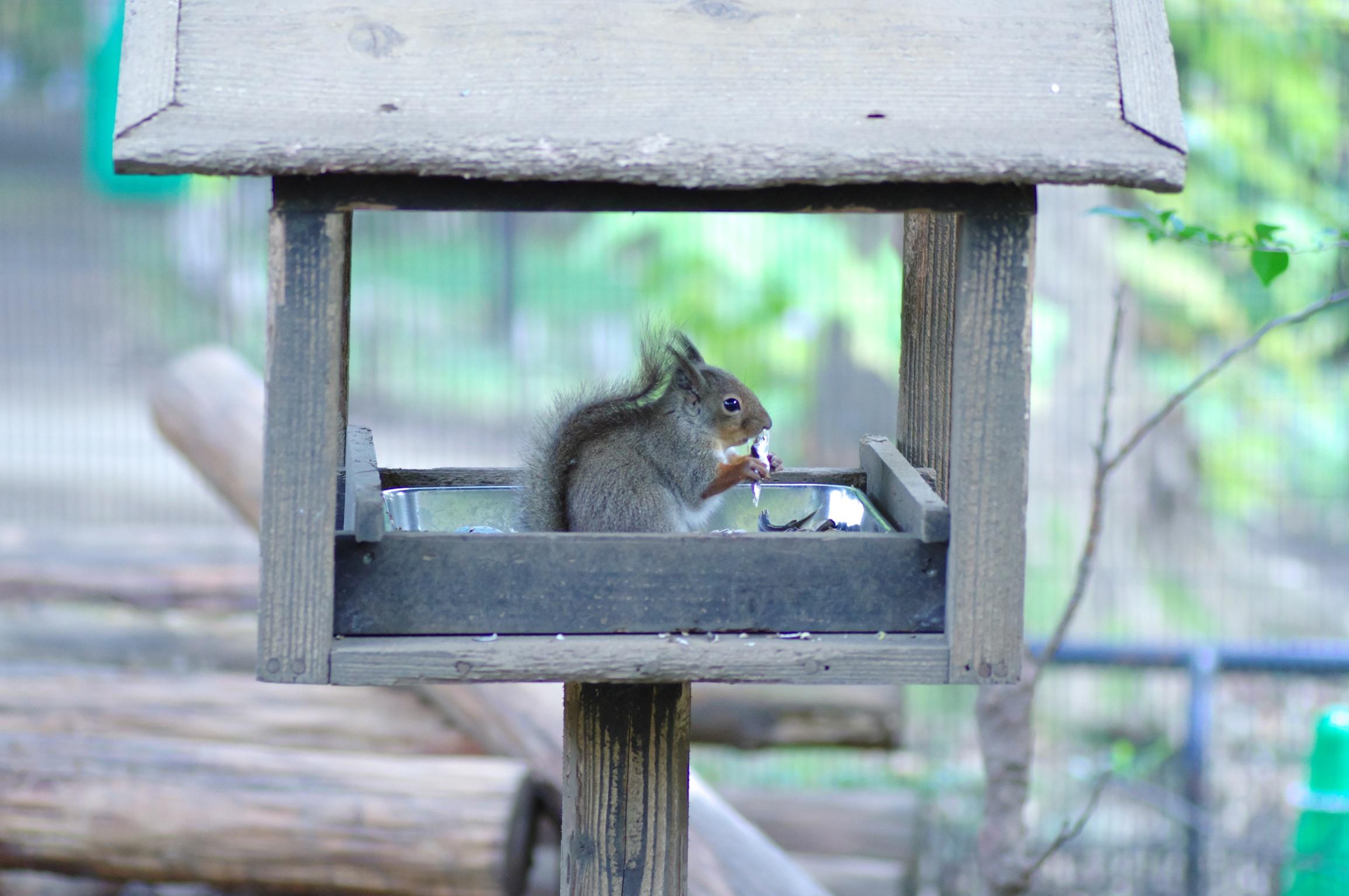 井の頭公園の動物 リス2