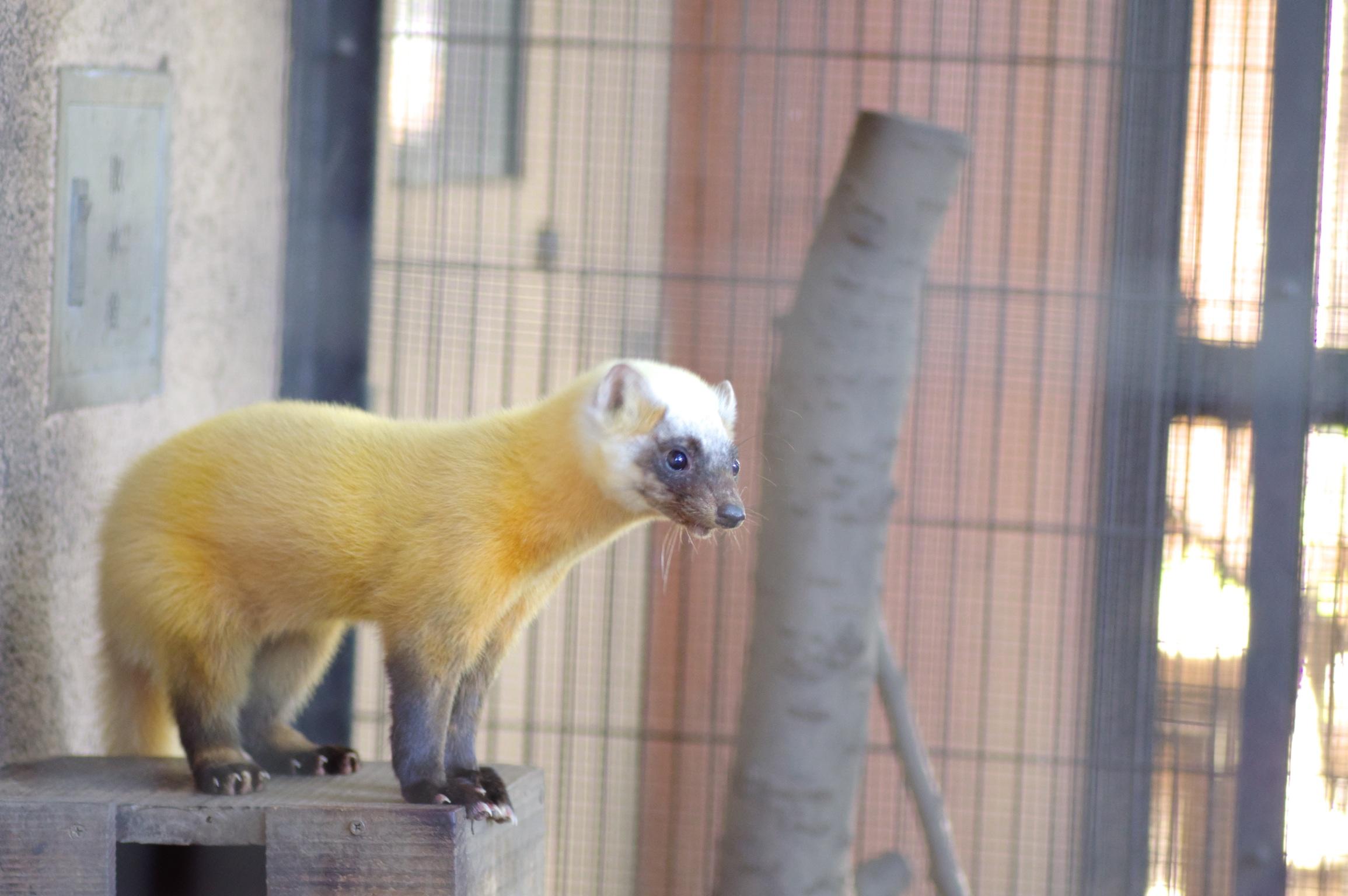 井の頭公園の動物 ハクビシン