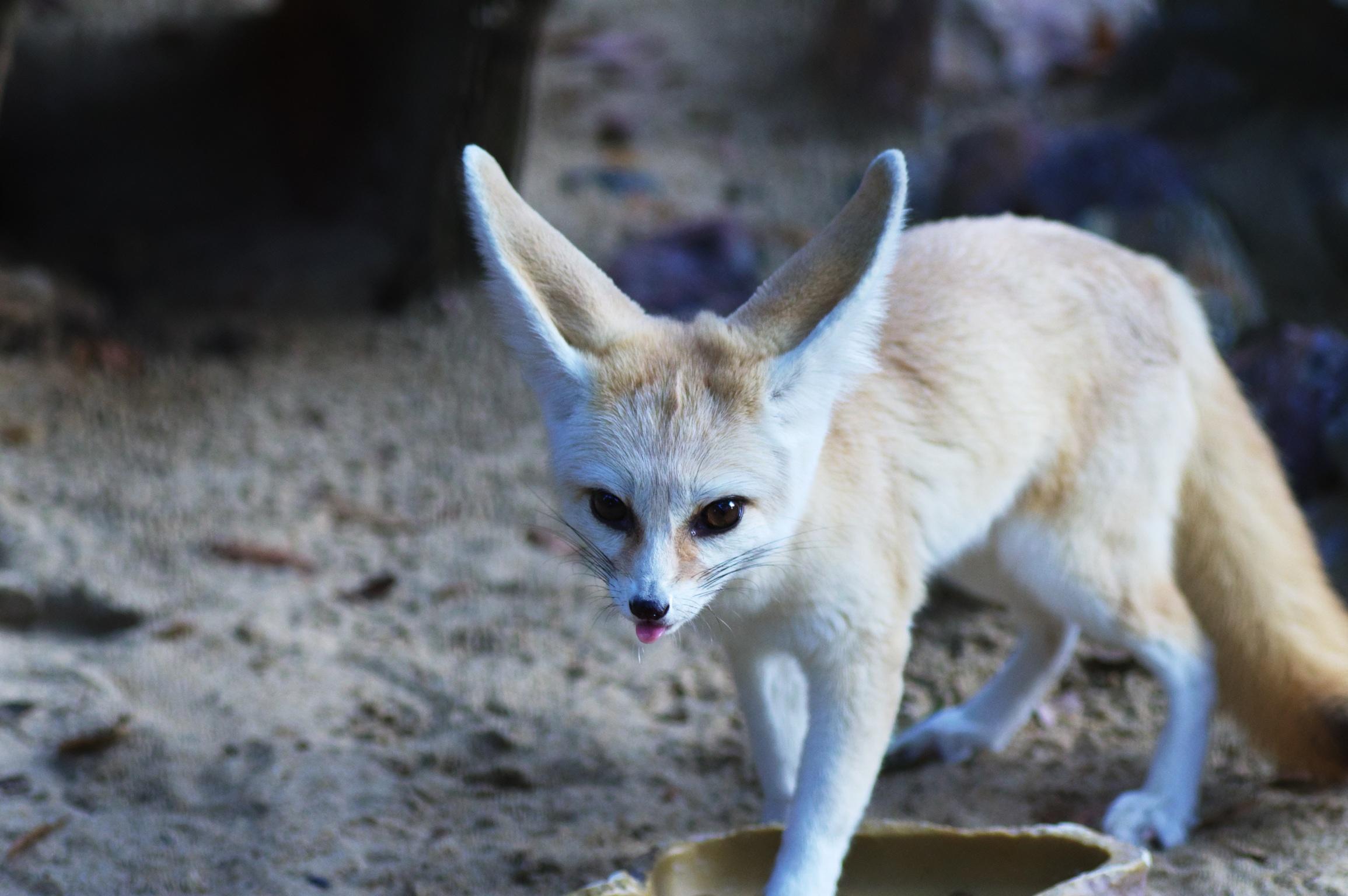 井の頭公園の動物 フェネック