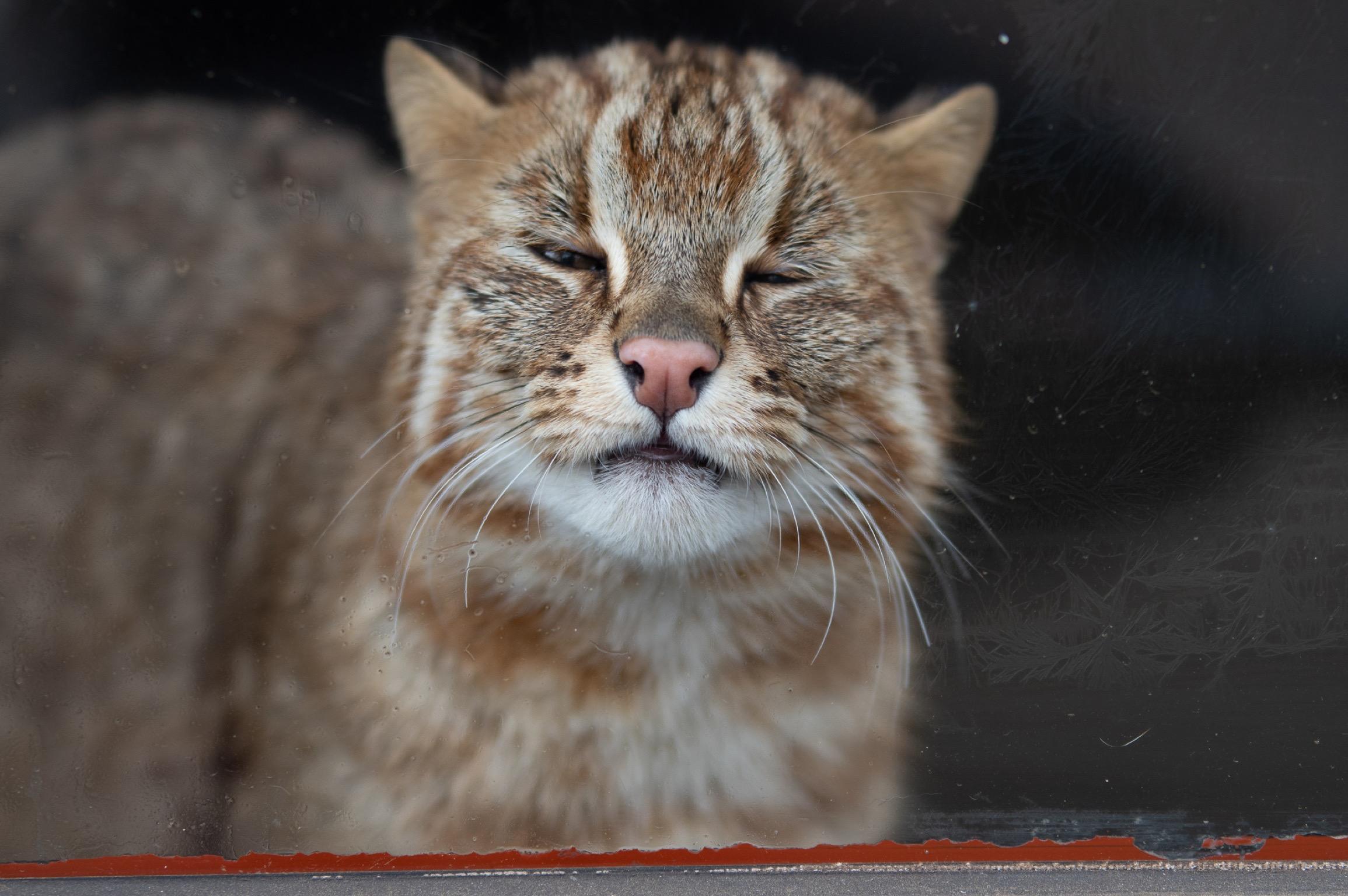 井の頭公園の動物 ベンガル山猫