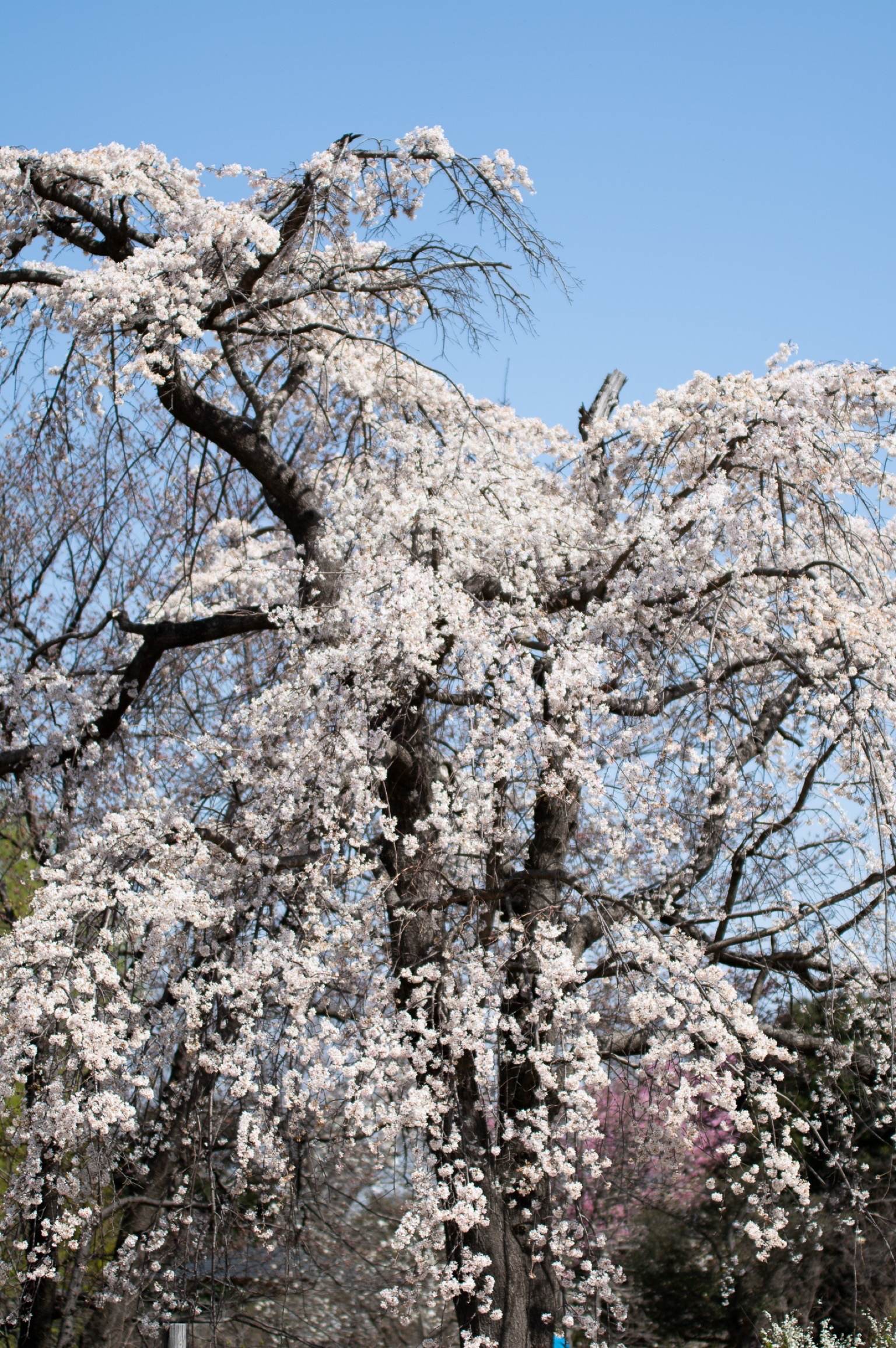昭和記念公園のしだれ桜