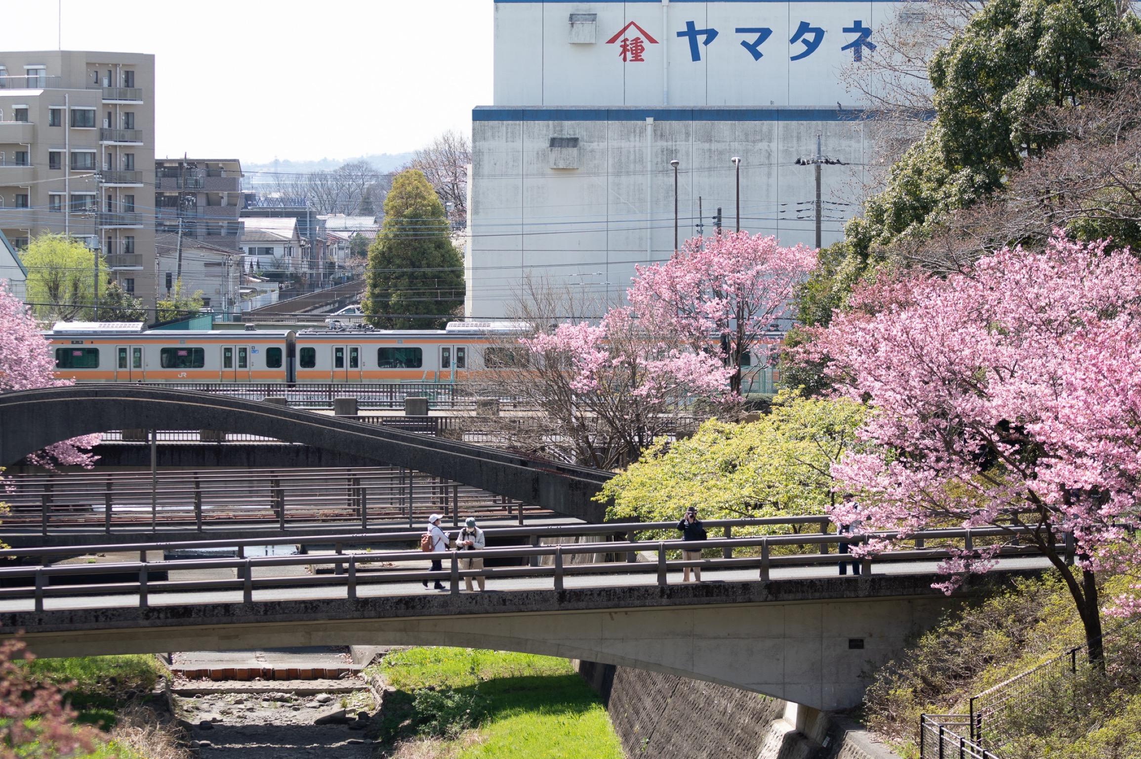 桜とJR中央線