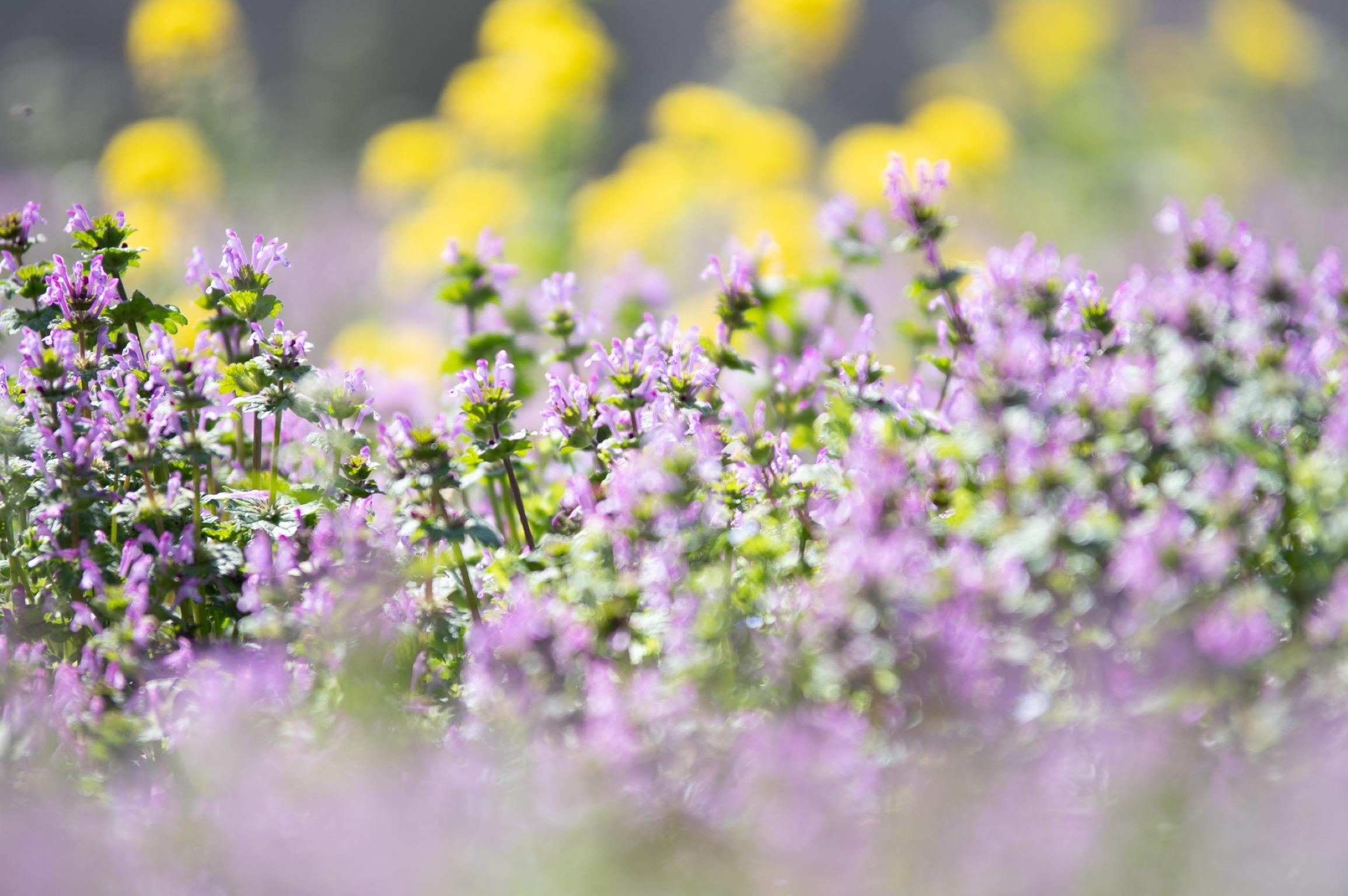 昭和記念公園 ラベンダーと菜の花