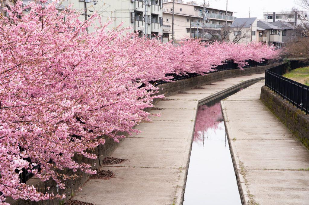 水路に写る川津桜