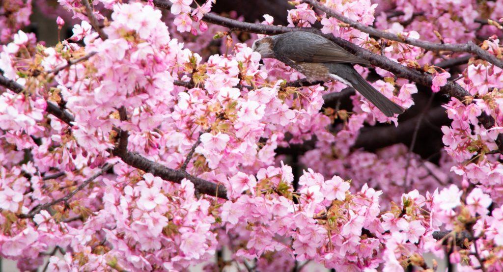 桜をついばむヒヨドリ