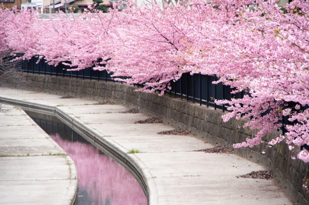 満開の川津桜