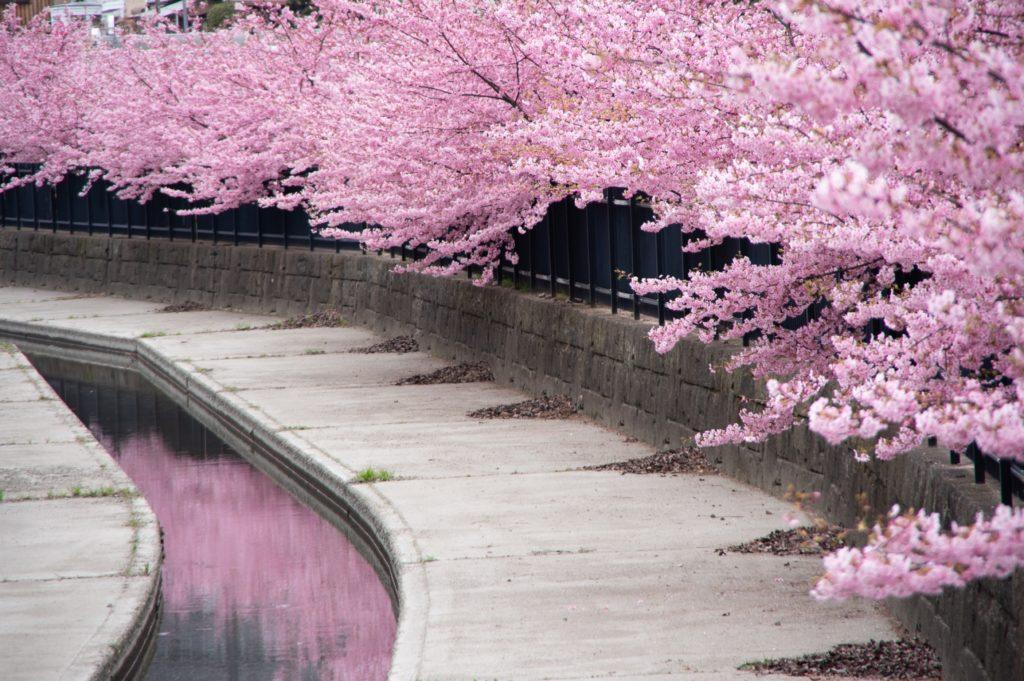 用水路に写る川津桜