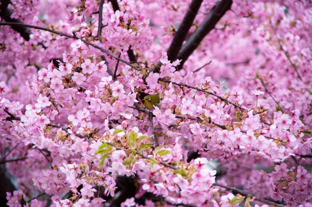 満開の桜を楽しむメジロ