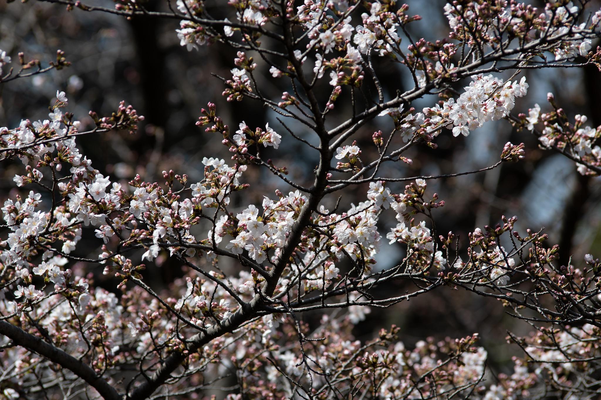 昭和記念公園のソメイヨシノ