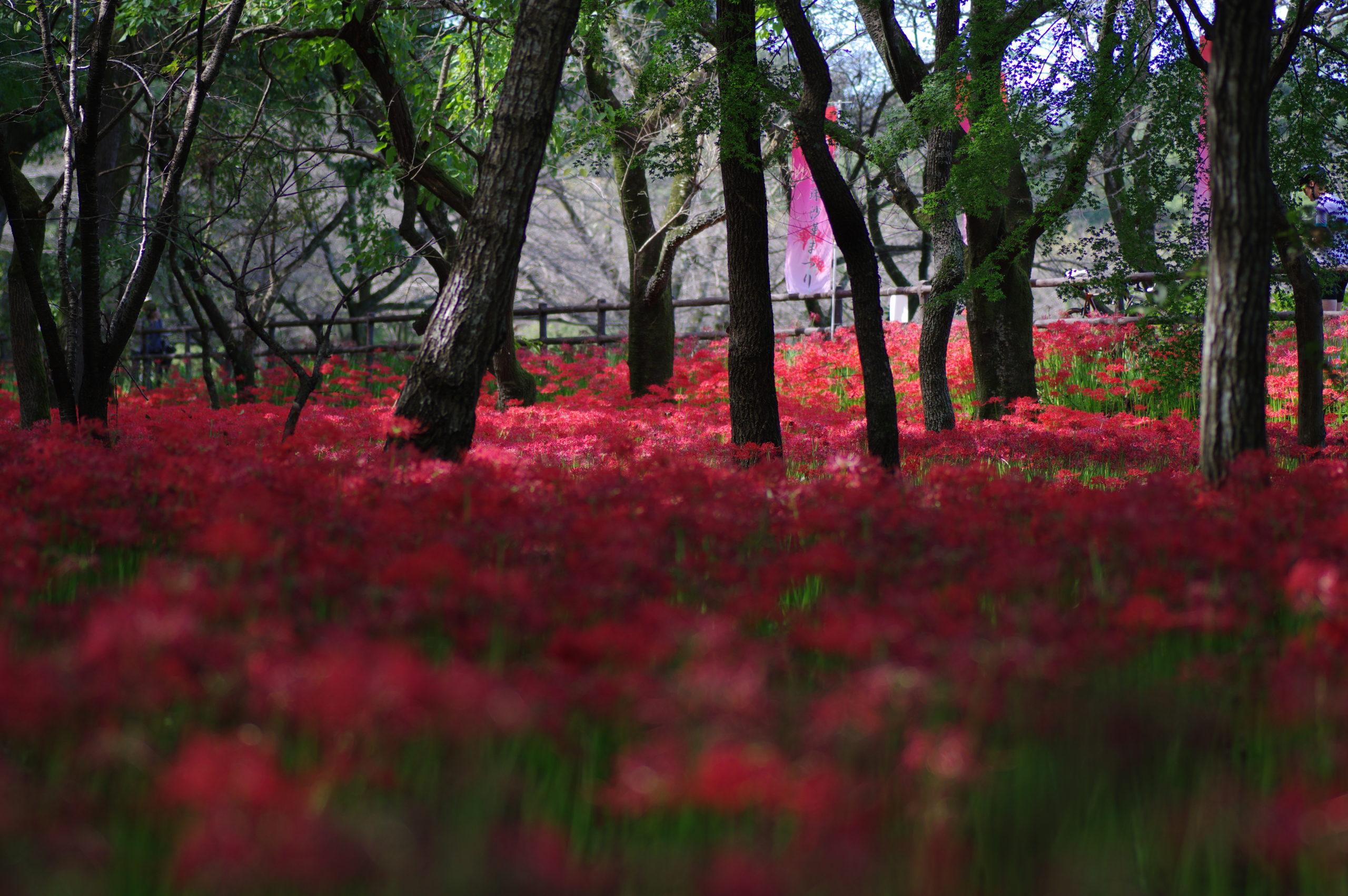 雑木林の曼珠沙華