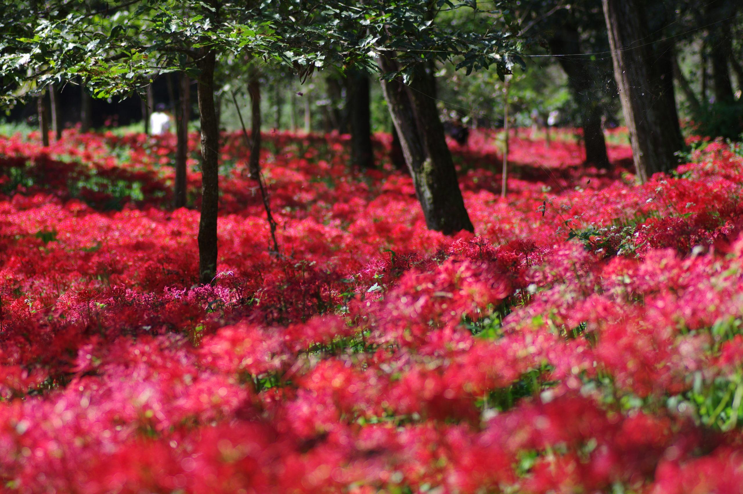 曼珠沙華の赤い絨毯