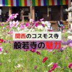 関西のコスモス寺般若寺
