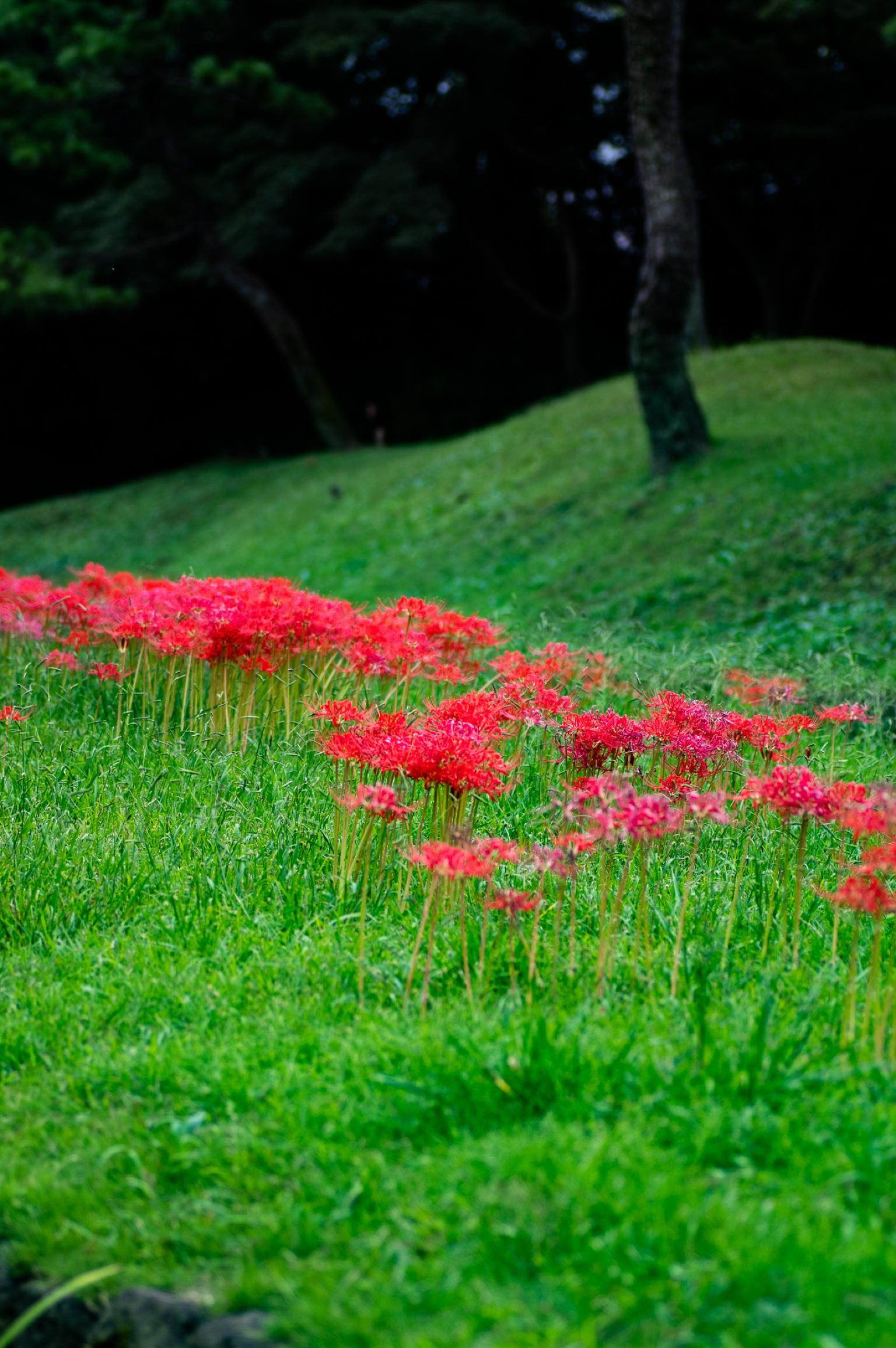 小石川後楽園の彼岸花